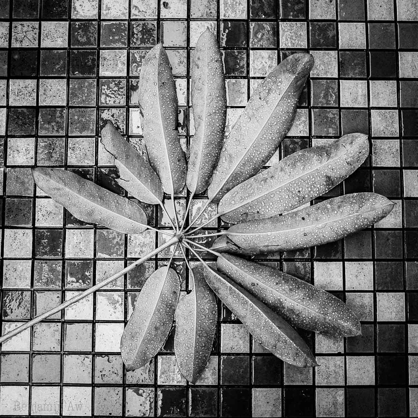A section of leaves against a mosaic of tiles. A black and white image full of detail as raindrops on the leaves form a detailed image.